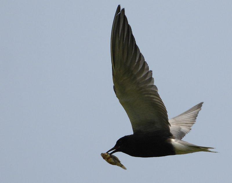 Tern Black D-206.jpg