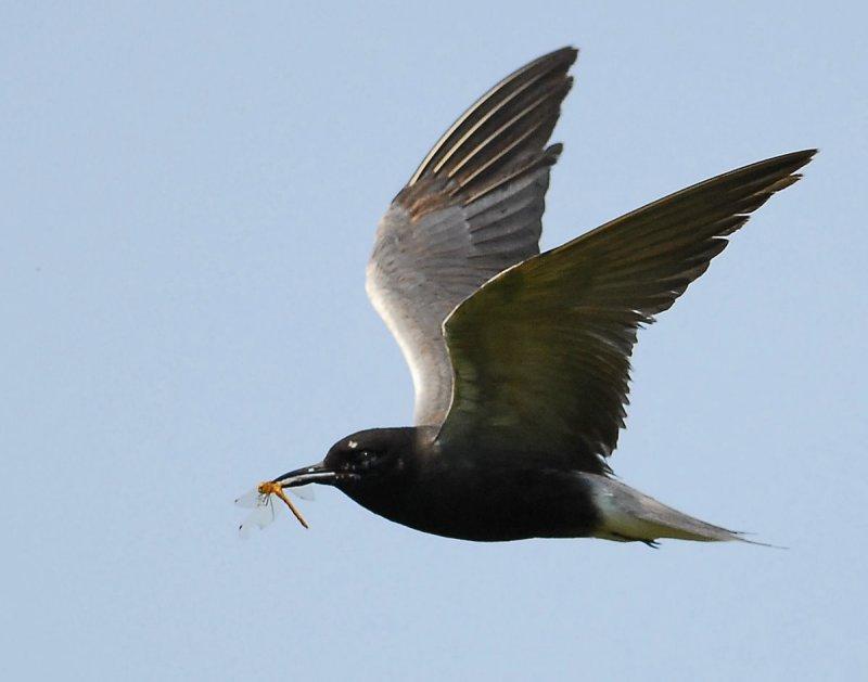 Tern Black D-200.jpg