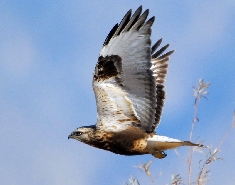 Hawk, Rough-legged D-002.jpg