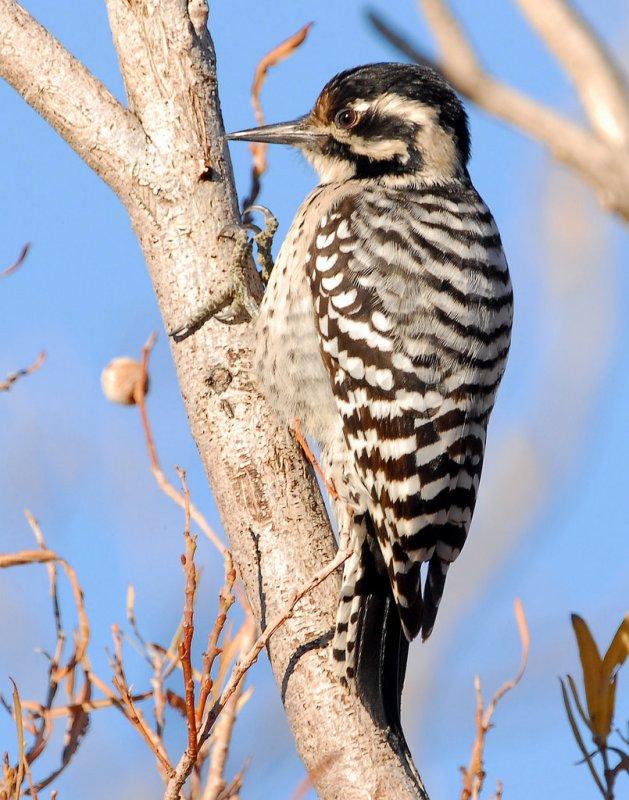 Woodpecker Ladder-backed female    D-004.jpg