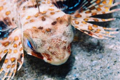 角鬚紋... Dactyloptena gilberti