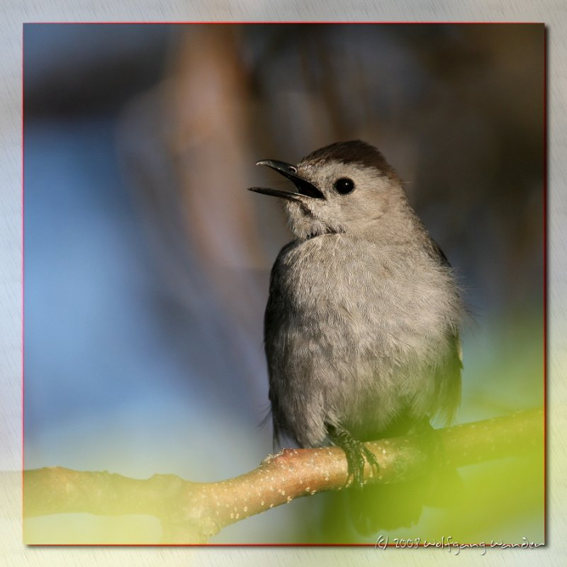Grey Catbird <i>Dumetella carolinensis</i>