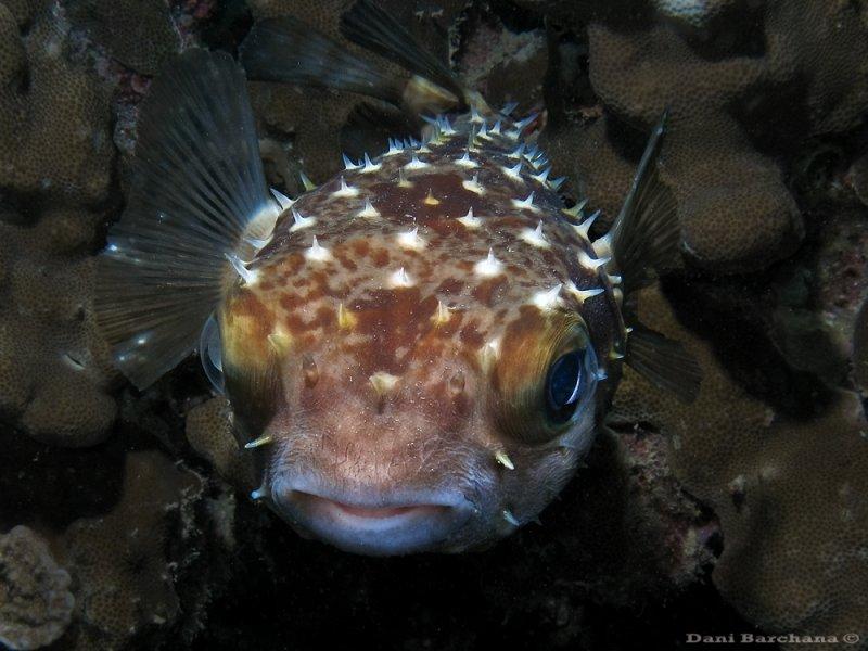 Yellowspotted burrfish