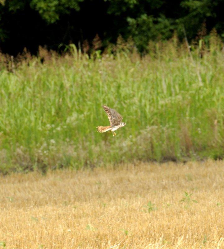 Kestrel in the Wheat Field