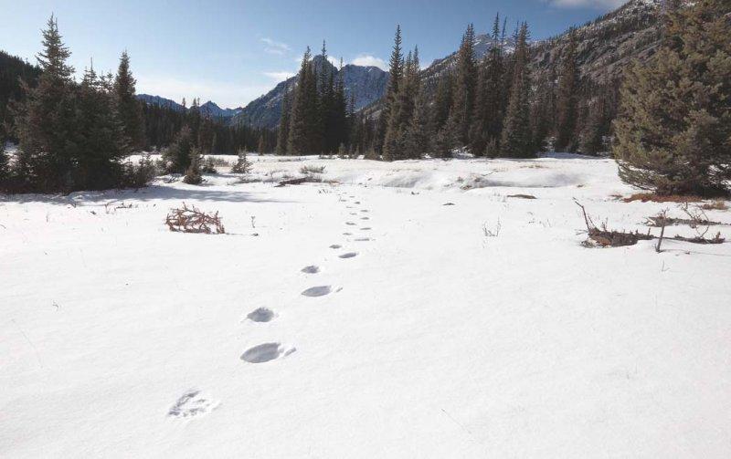 Bear Tracks, Washington Pass Meadow <br> (WaPass110209-3adj2.jpg)