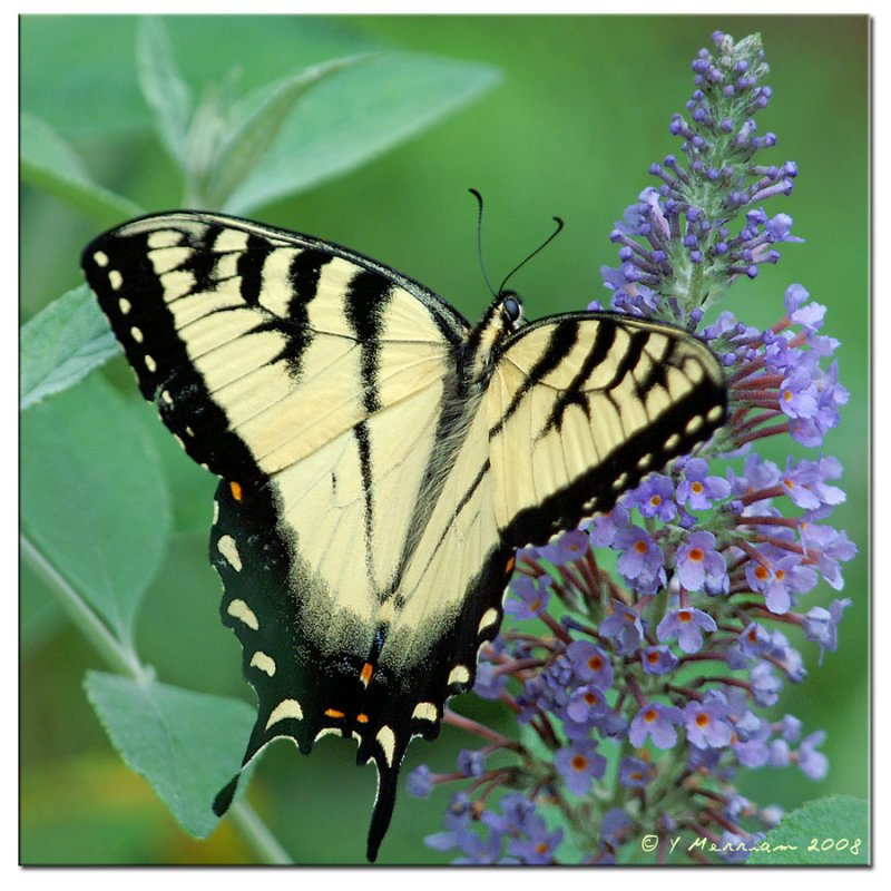 Eastern Tiger Swallowtail Male