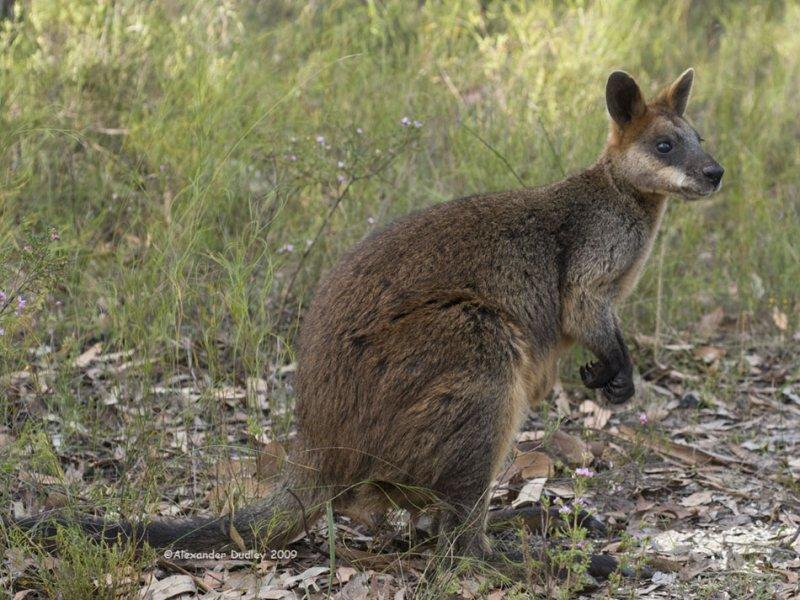Swamp Wallaby, Wallabia bicolor