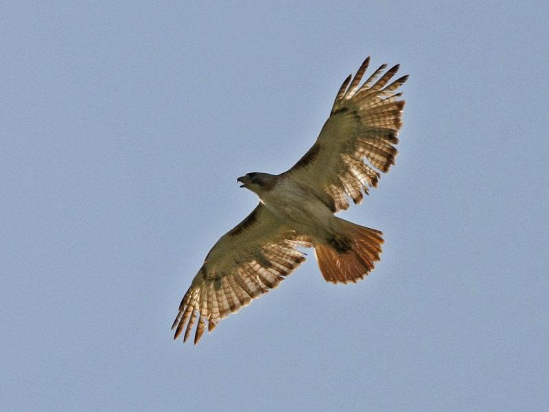 hawk-redtailed3156a.jpg