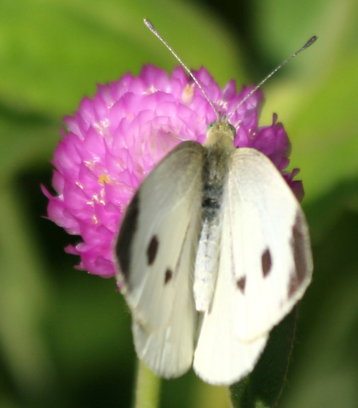 Cabbage Butterfly & Gomphrena