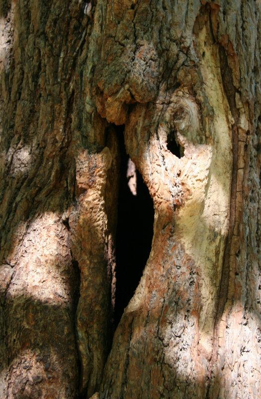 Linden Tree Trunk