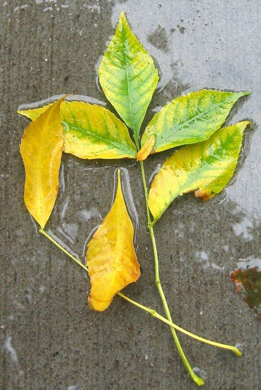 Elm Foliage on a Sidewalk Puddle