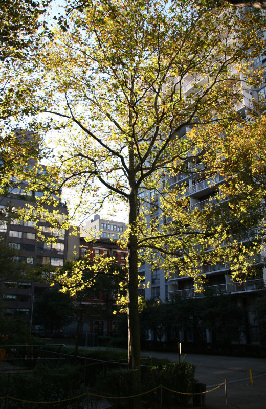 October Morning - Sycamore Tree