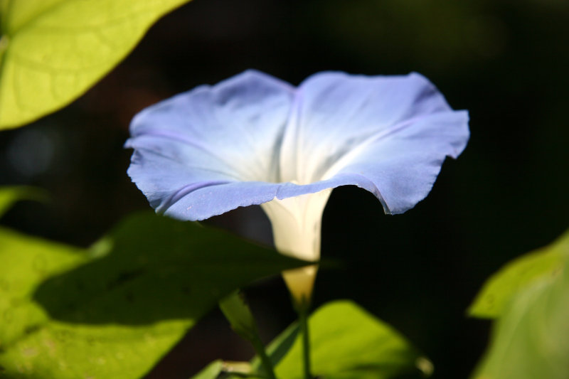 Ipomoea or Heavenly Blue Morning Glory