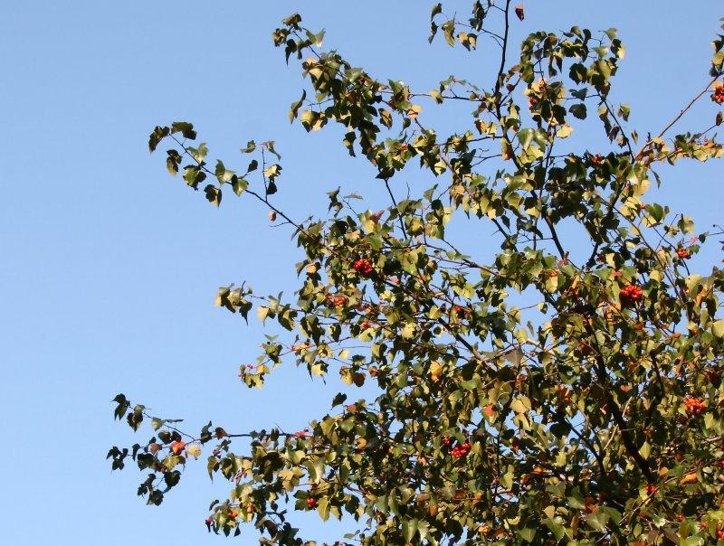 Hawthorne Tree Foliage & Berries
