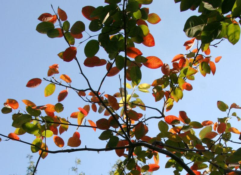 Ornamental Cherry Tree Foliage