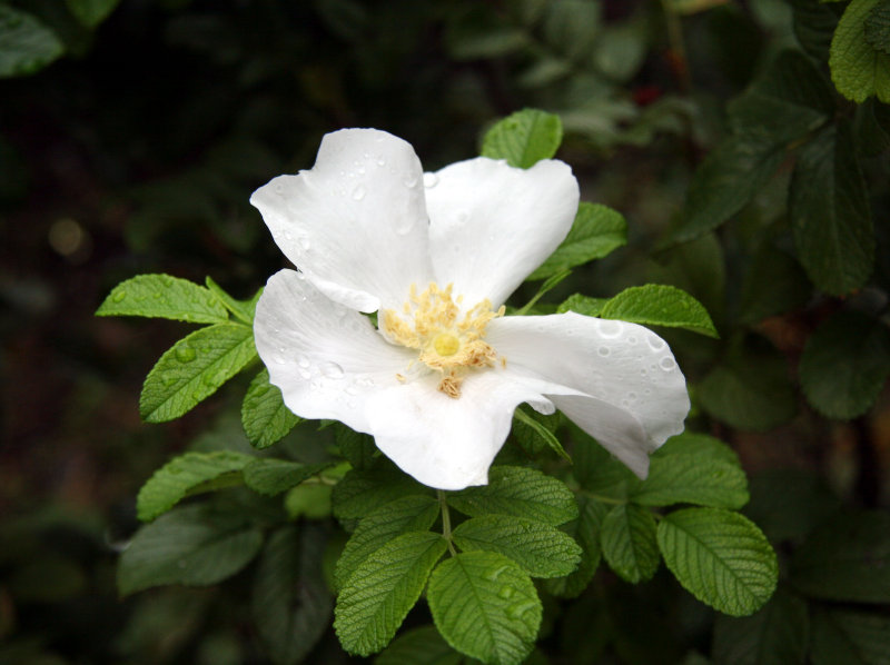 Henry Hudson Rugosa Rose after Rain