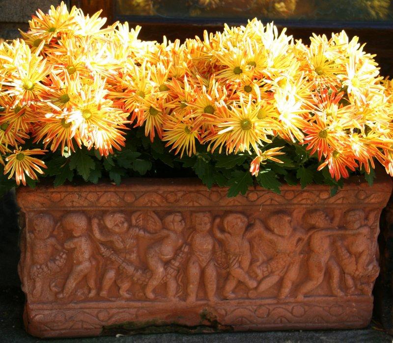 Frolicking Under Sun Burst Chrysanthemums