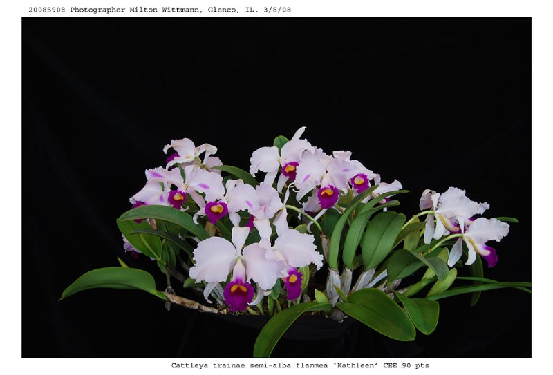 20085908 - C. triainae semi-alba flammea  Kathleen  CEE/AOS  90 pts.