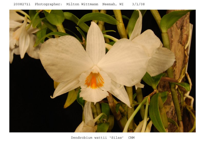 20082711 - Den. wattii   Silas  CHM/AOS 82 pts. Close-up