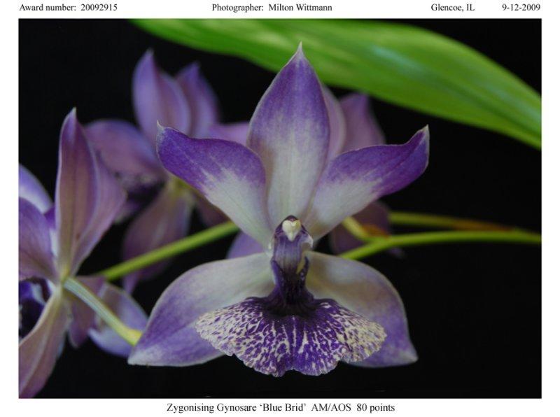 20092915 - Zygonisia Cynosare Blue Bird AM AOS 80 points.