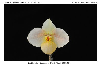 20085927 - Paph Jerrys Song Peach Wings HCC/AOS 76 pts.