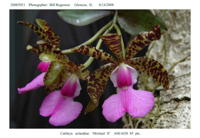 20085921 - Cattleya aclandiae  Michael  II  AM/AOS  85 pts.