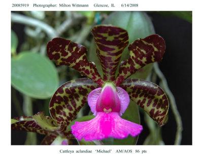 20085919 - Cattleya aclandiae  Michael  AM/AOS  86 pts.