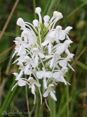 White Fringed Orchis  Platanthera blephariglottis