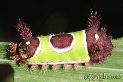 Saddleback Caterpillar Acharia stimulea