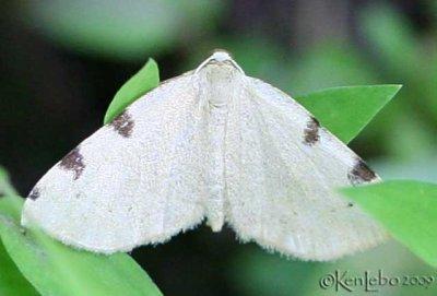 Three-spotted Fillip Heterophleps triguttaria #7647