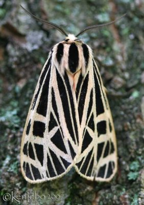 Virgin Tiger Moth Grammia virgo #8197