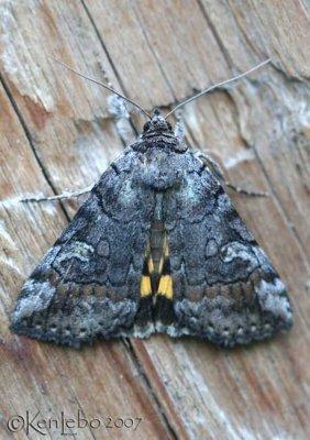 Similar Underwing Catocala similis #8873
