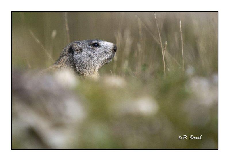 Marmotte - 2285