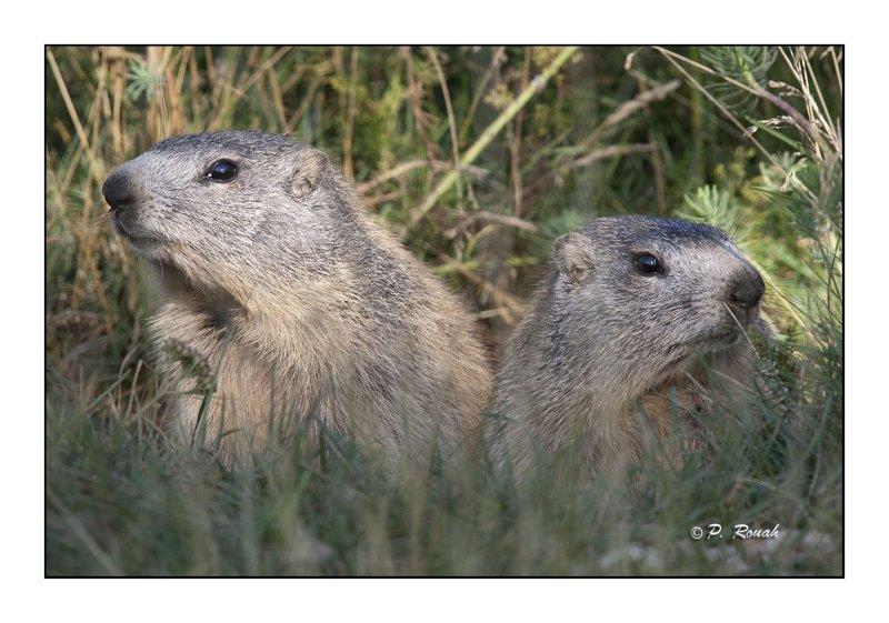 Marmottes - 2147