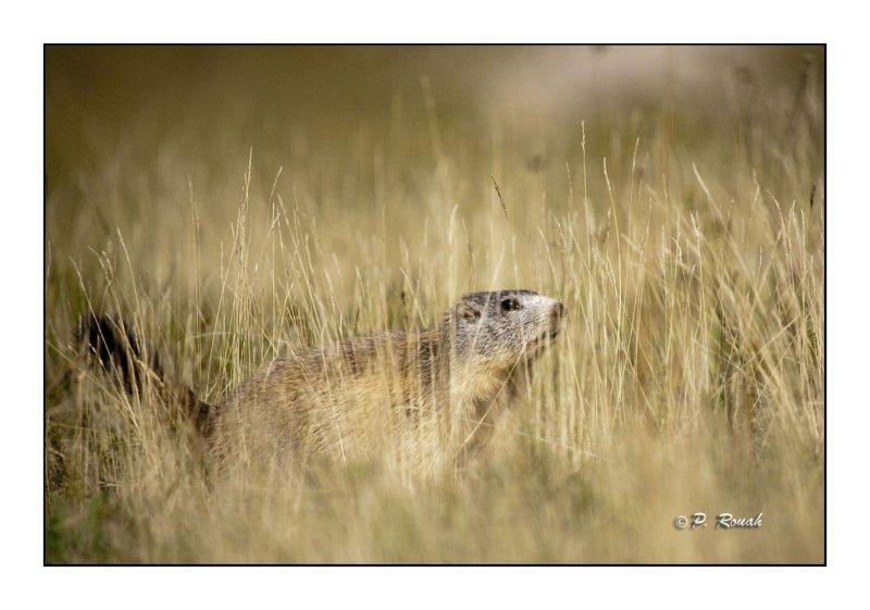 Marmottes - 2294