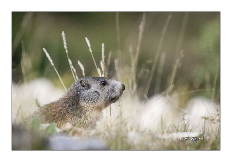 Marmottes - 2299