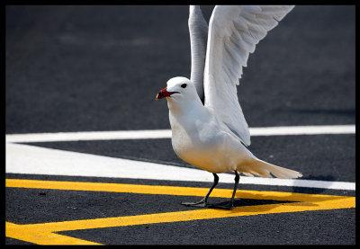 Streetsmart Audouin`s Gull