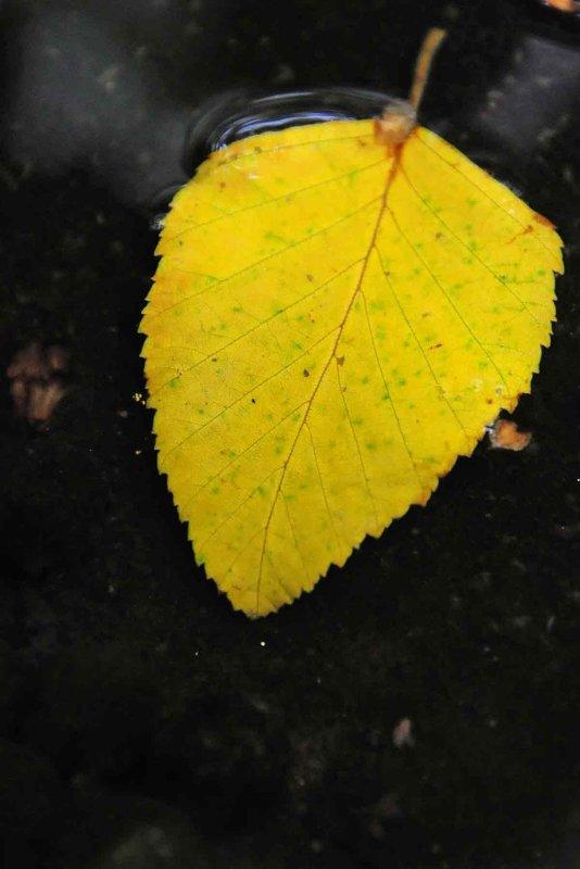 River Birch leaf 2297