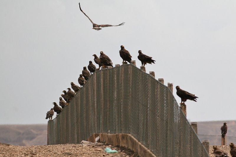 Steppe Eagles (Aquila nipalensis)