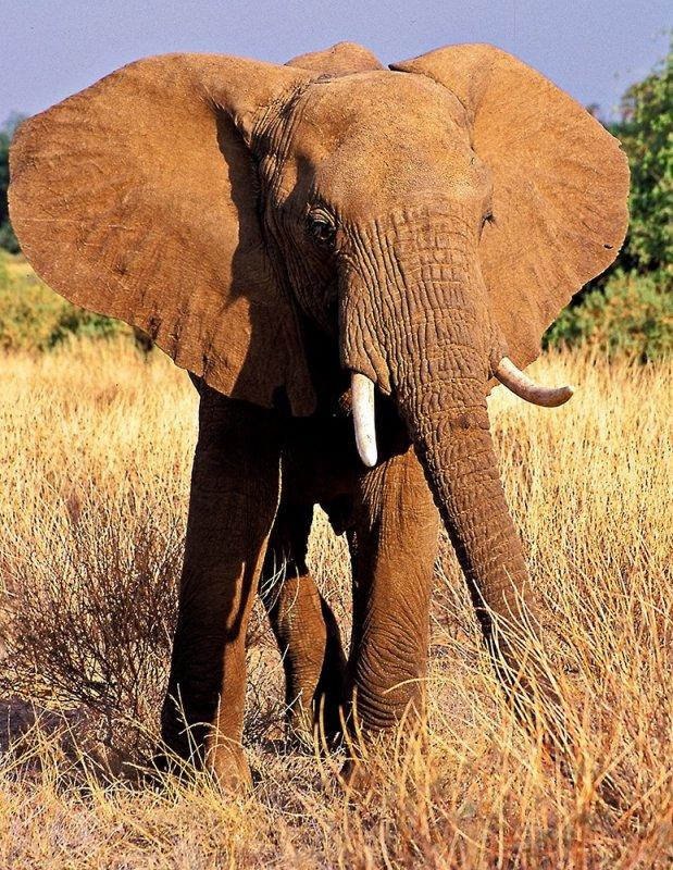Samburu Female