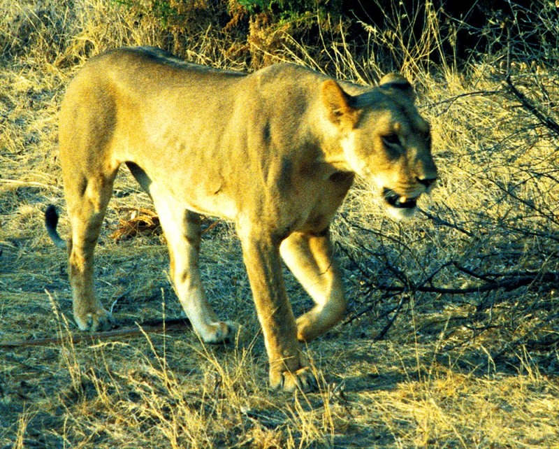 Hungry Lioness 1