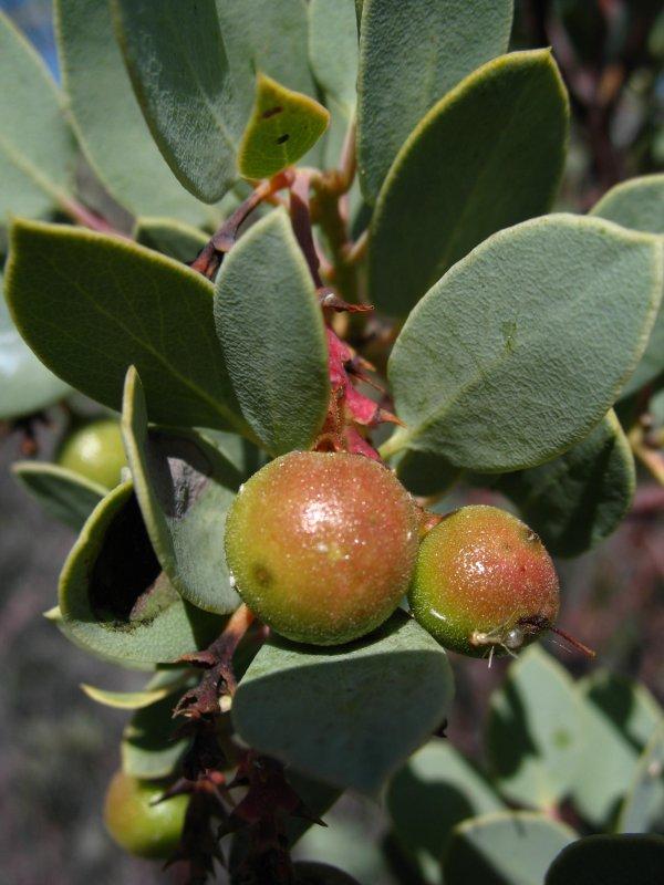 manzanita berries.jpg
