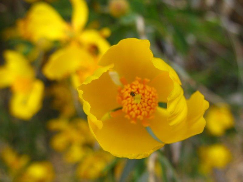 bush poppy.jpg