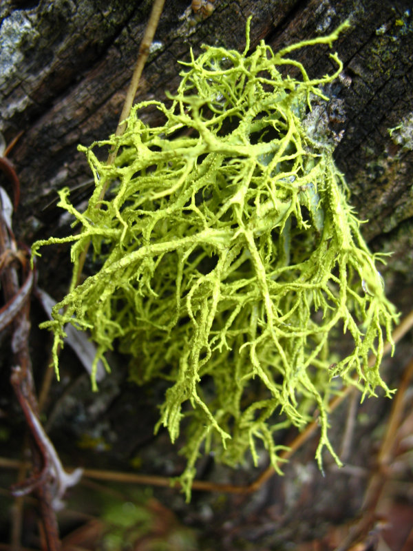 yellow lichen.jpg