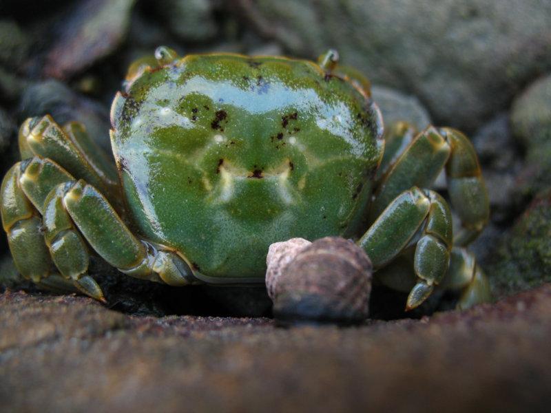 green crab.jpg