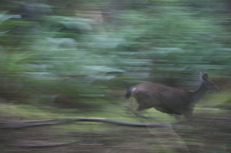 running deer.jpg