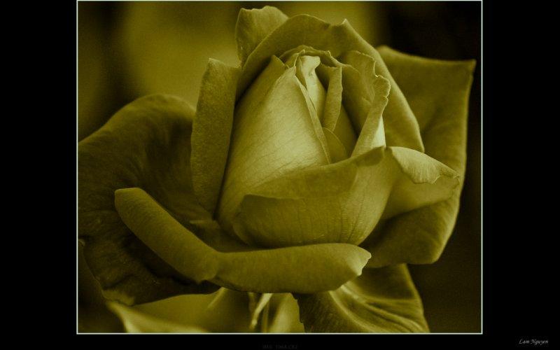 rose3-5.jpeg
