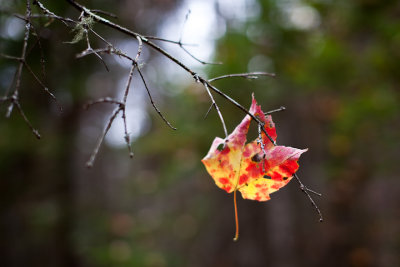 Red and Yellow Leaf Caught on Branch