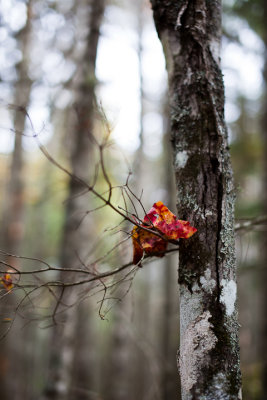 Red Leaf by Tree Trunk
