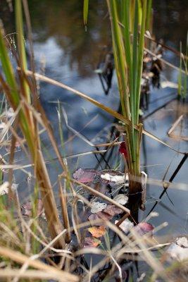 Leaves Fallen Among Pond Grasses #1
